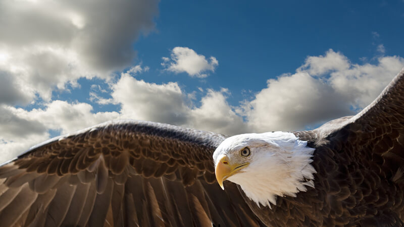 The Eagle Who Thought He Was a Chicken